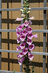 Common Foxglove (Digitalis purpurea) at Chalet Nursery