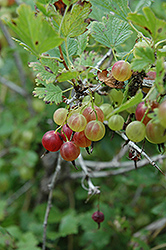 Pixwell Gooseberry (Ribes 'Pixwell') at Chalet Nursery