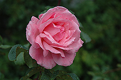 Queen Elizabeth Rose (Rosa 'Queen Elizabeth') at Chalet Nursery