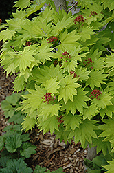 Golden Fullmoon Maple (Acer japonicum 'Aureum') at Chalet Nursery