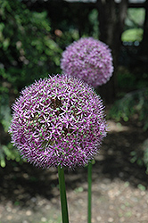 Globemaster Ornamental Onion (Allium 'Globemaster') at Chalet Nursery
