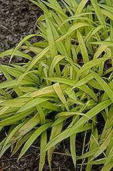 Banana Boat Broadleaf Sedge (Carex siderosticha 'Banana Boat') at Chalet Nursery