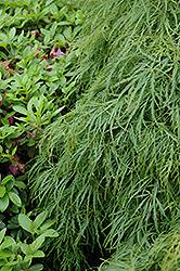 Cutleaf Japanese Maple (Acer palmatum 'Dissectum Viridis') at Chalet Nursery