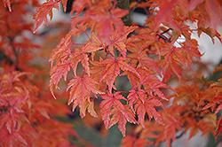 Lions Head Japanese Maple (Acer palmatum 'Shishigashira') at Chalet Nursery