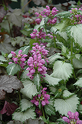 Ghost Spotted Dead Nettle (Lamium maculatum 'Ghost') at Chalet Nursery