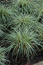 Evergold Variegated Japanese Sedge (Carex oshimensis 'Evergold') at Chalet Nursery