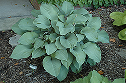 Krossa Regal Hosta (Hosta 'Krossa Regal') at Chalet Nursery