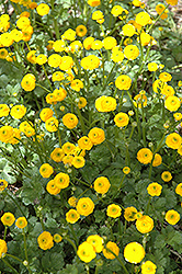 Meadow Buttercup (Ranunculus acris) at Chalet Nursery