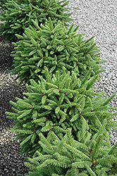Tolleymore Norway Spruce (Picea abies 'Tolleymore') at Chalet Nursery
