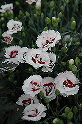 Scent First® Coconut Surprise Pinks (Dianthus 'WP05Yves') at Chalet Nursery