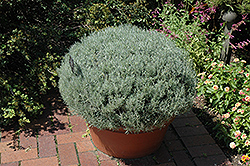 Curry Plant (Helichrysum italicum) at Chalet Nursery