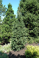 Columnar Norway Spruce (Picea abies 'Cupressina') at Chalet Nursery