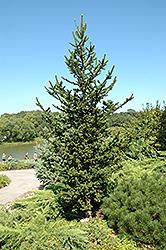 Hillside Upright Spruce (Picea abies 'Hillside Upright') at Chalet Nursery