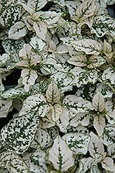 Splash Select White Polka Dot Plant (Hypoestes phyllostachya 'Splash Select White') at Chalet Nursery