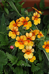 Juicy Fruits Kumquat Nemesia (Nemesia 'Juicy Fruits Kumquat') at Chalet Nursery