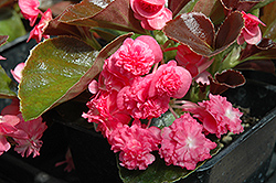 Doublet Rose Begonia (Begonia 'Doublet Rose') at Chalet Nursery