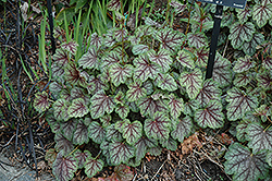 Green Spice Coral Bells (Heuchera 'Green Spice') at Chalet Nursery