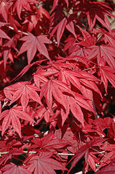 Emperor I Japanese Maple (Acer palmatum 'Wolff') at Chalet Nursery