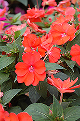 SunPatiens® Vigorous Orange New Guinea Impatiens (Impatiens 'SunPatiens Vigorous Orange') at Chalet Nursery