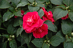 Fiesta Ole Rose Double Impatiens (Impatiens 'Fiesta Ole Rose') at Chalet Nursery