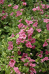 Trailing Antique Rose Twinspur (Diascia 'Trailing Antique Rose') at Chalet Nursery