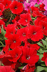 Potunia Plus Red Petunia (Petunia 'Potunia Plus Red') at Chalet Nursery