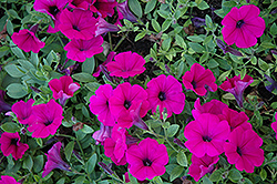 Wave Purple Classic Petunia (Petunia 'Wave Purple Classic') at Chalet Nursery