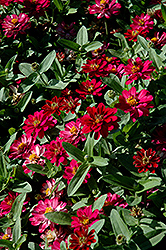 Profusion Double Cherry Zinnia (Zinnia 'Profusion Double Cherry') at Chalet Nursery