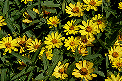 Profusion Yellow Zinnia (Zinnia 'Profusion Yellow') at Chalet Nursery