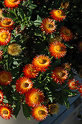 Mohave Fire Strawflower (Bracteantha bracteata 'Mohave Fire') at Chalet Nursery