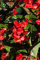 Whopper® Red Green Leaf Begonia (Begonia 'Whopper Red Green Leaf') at Chalet Nursery