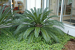 Japanese Sago Palm (Cycas revoluta) at Chalet Nursery