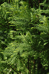 Lindsey's Skyward Bald Cypress (Taxodium distichum 'Skyward') at Chalet Nursery