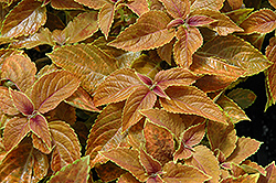 Rustic Orange Coleus (Solenostemon scutellarioides 'Rustic Orange') at Chalet Nursery