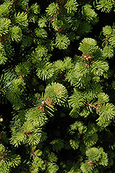 Sherwood Compact Norway Spruce (Picea abies 'Sherwood Compact') at Chalet Nursery