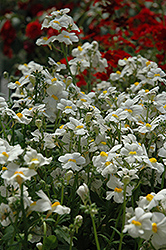 Sunsatia Coconut Nemesia (Nemesia 'Sunsatia Coconut') at Chalet Nursery