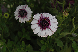 3D Berry White African Daisy (Osteospermum '3D Berry White') at Chalet Nursery