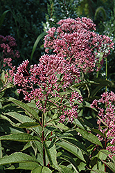 Gateway Joe Pye Weed (Eupatorium maculatum 'Gateway') at Chalet Nursery