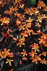 Sparks Will Fly Begonia (Begonia 'Sparks Will Fly') at Chalet Nursery