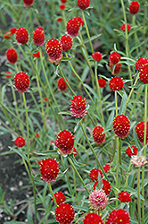 Qis Red Gomphrena (Gomphrena 'Qis Red') at Chalet Nursery