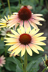 Evening Glow Coneflower (Echinacea 'Evening Glow') at Chalet Nursery