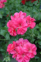 Precision Salmon Ivy Leaf Geranium (Pelargonium peltatum 'Precision Salmon') at Chalet Nursery
