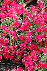 Candy Showers Rose Snapdragon (Antirrhinum majus 'Candy Showers Rose') at Chalet Nursery