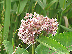 Common Milkweed (Asclepias syriaca) at Chalet Nursery