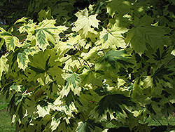 Variegated Norway Maple (Acer platanoides 'Variegatum') at Chalet Nursery