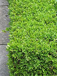 Green Velvet Boxwood (Buxus 'Green Velvet') at Chalet Nursery