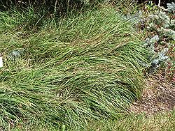 Blue Sedge (Carex flacca) at Chalet Nursery