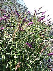 Black Knight Butterfly Bush (Buddleia davidii 'Black Knight') at Chalet Nursery