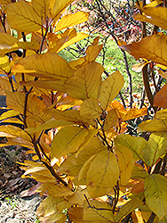 Dawyck Purple Beech (Fagus sylvatica 'Dawyck Purple') at Chalet Nursery