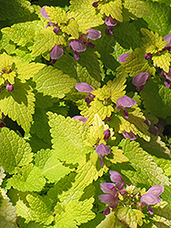Golden Spotted Dead Nettle (Lamium maculatum 'Aureum') at Chalet Nursery